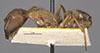 http://mczbase.mcz.harvard.edu/specimen_images/entomology/large/MCZ-ENT00021505_Camponotus_cingulatus_var_bambusarum_hal.jpg