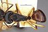 http://mczbase.mcz.harvard.edu/specimen_images/entomology/large/MCZ-ENT00021513_Camponotus_oetkeri_had.jpg