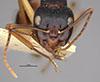 http://mczbase.mcz.harvard.edu/specimen_images/entomology/large/MCZ-ENT00021513_Camponotus_oetkeri_hef.jpg
