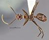 http://mczbase.mcz.harvard.edu/specimen_images/entomology/large/MCZ-ENT00021520_Camponotus_hypoclineoides_had.jpg