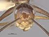http://mczbase.mcz.harvard.edu/specimen_images/entomology/large/MCZ-ENT00021520_Camponotus_hypoclineoides_hefa.jpg