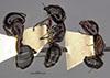 http://mczbase.mcz.harvard.edu/specimen_images/entomology/large/MCZ-ENT00021521_Camponotus_anthrax_hala.jpg