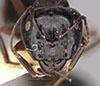 http://mczbase.mcz.harvard.edu/specimen_images/entomology/large/MCZ-ENT00021521_Camponotus_anthrax_hef.jpg