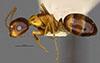 http://mczbase.mcz.harvard.edu/specimen_images/entomology/large/MCZ-ENT00021524_Camponotus_fallax_var_pardus_hal.jpg