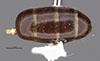 http://mczbase.mcz.harvard.edu/specimen_images/entomology/large/MCZ-ENT00021526_Camponotus_marginatus_discolor_var_clarithorax_bop.jpg