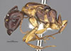 http://mczbase.mcz.harvard.edu/specimen_images/entomology/large/MCZ-ENT00021526_Camponotus_marginatus_discolor_var_clarithorax_hal.jpg
