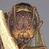 http://mczbase.mcz.harvard.edu/specimen_images/entomology/large/MCZ-ENT00021529_Camponotus_marginatus_subbarbatus_hef.jpg