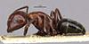 http://mczbase.mcz.harvard.edu/specimen_images/entomology/large/MCZ-ENT00021530_Camponotus_marginatus_var_lameerei_hala.jpg