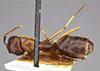 http://mczbase.mcz.harvard.edu/specimen_images/entomology/large/MCZ-ENT00021531_Camponotus_nitidus_montivagus_had.jpg