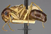 http://mczbase.mcz.harvard.edu/specimen_images/entomology/large/MCZ-ENT00021532_Camponotus_nitidus_var_nuperus_hal.jpg