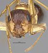 http://mczbase.mcz.harvard.edu/specimen_images/entomology/large/MCZ-ENT00021532_Camponotus_nitidus_var_nuperus_hef.jpg