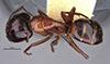 http://mczbase.mcz.harvard.edu/specimen_images/entomology/large/MCZ-ENT00021536_Camponotus_texanus_had.jpg