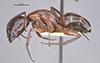 http://mczbase.mcz.harvard.edu/specimen_images/entomology/large/MCZ-ENT00021536_Camponotus_texanus_hal.jpg
