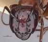 http://mczbase.mcz.harvard.edu/specimen_images/entomology/large/MCZ-ENT00021536_Camponotus_texanus_hef.jpg
