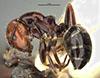 http://mczbase.mcz.harvard.edu/specimen_images/entomology/large/MCZ-ENT00021538_Camponotus_lateralis_armouri_halb.jpg