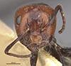http://mczbase.mcz.harvard.edu/specimen_images/entomology/large/MCZ-ENT00021538_Camponotus_lateralis_armouri_hefa.jpg