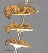 http://mczbase.mcz.harvard.edu/specimen_images/entomology/large/MCZ-ENT00021539_Camponotus_kelleri_hala.jpg