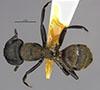http://mczbase.mcz.harvard.edu/specimen_images/entomology/large/MCZ-ENT00021540_Camponotus_darwini_rubropilosus_had.jpg