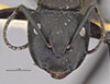 http://mczbase.mcz.harvard.edu/specimen_images/entomology/large/MCZ-ENT00021540_Camponotus_darwini_rubropilosus_hefa.jpg
