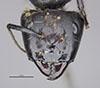 http://mczbase.mcz.harvard.edu/specimen_images/entomology/large/MCZ-ENT00021544_Camponotus_satan_hef.jpg
