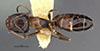 http://mczbase.mcz.harvard.edu/specimen_images/entomology/large/MCZ-ENT00021545_Camponotus_itoi_lighti_had.jpg