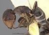 http://mczbase.mcz.harvard.edu/specimen_images/entomology/large/MCZ-ENT00021547_Camponotus_bedoti_halb.jpg