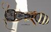 http://mczbase.mcz.harvard.edu/specimen_images/entomology/large/MCZ-ENT00021549_Camponotus_reticulatus_fullawayi_had.jpg
