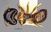 http://mczbase.mcz.harvard.edu/specimen_images/entomology/large/MCZ-ENT00021550_Camponotus_chapini_hada.jpg