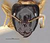 http://mczbase.mcz.harvard.edu/specimen_images/entomology/large/MCZ-ENT00021550_Camponotus_chapini_hefa.jpg