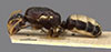 http://mczbase.mcz.harvard.edu/specimen_images/entomology/large/MCZ-ENT00021564_Camponotus_albodiscus_hala.jpg