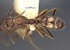 http://mczbase.mcz.harvard.edu/specimen_images/entomology/large/MCZ-ENT00021568_Camponotus_sexguttatus_basirectus_had.jpg