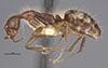 http://mczbase.mcz.harvard.edu/specimen_images/entomology/large/MCZ-ENT00021568_Camponotus_sexguttatus_basirectus_halb.jpg