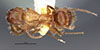 http://mczbase.mcz.harvard.edu/specimen_images/entomology/large/MCZ-ENT00021569_Camponotus_sexguttatus_var_montserratensis_had.jpg