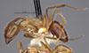 http://mczbase.mcz.harvard.edu/specimen_images/entomology/large/MCZ-ENT00021569_Camponotus_sexguttatus_var_montserratensis_halb.jpg