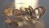 http://mczbase.mcz.harvard.edu/specimen_images/entomology/large/MCZ-ENT00021570_Camponotus_sexguttatus_var_unitaeniatus_had.jpg