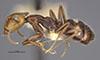 http://mczbase.mcz.harvard.edu/specimen_images/entomology/large/MCZ-ENT00021570_Camponotus_sexguttatus_var_unitaeniatus_halb.jpg