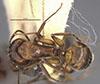 http://mczbase.mcz.harvard.edu/specimen_images/entomology/large/MCZ-ENT00021572_Camponotus_patimae_had.jpg