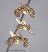 http://mczbase.mcz.harvard.edu/specimen_images/entomology/large/MCZ-ENT00021572_Camponotus_patimae_hala.jpg