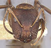 http://mczbase.mcz.harvard.edu/specimen_images/entomology/large/MCZ-ENT00021572_Camponotus_patimae_hef.jpg