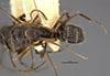 http://mczbase.mcz.harvard.edu/specimen_images/entomology/large/MCZ-ENT00021573_Camponotus_patimae_var_dolentulus_had.jpg