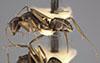 http://mczbase.mcz.harvard.edu/specimen_images/entomology/large/MCZ-ENT00021573_Camponotus_patimae_var_dolentulus_hal.jpg