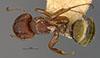 http://mczbase.mcz.harvard.edu/specimen_images/entomology/large/MCZ-ENT00021574_Camponotus_novogranadensis_r_chazaliei_had.jpg