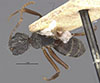http://mczbase.mcz.harvard.edu/specimen_images/entomology/large/MCZ-ENT00021575_Camponotus_capperi_corticalis_hada.jpg