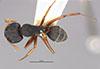 http://mczbase.mcz.harvard.edu/specimen_images/entomology/large/MCZ-ENT00021576_Camponotus_capperi_corticalis_var_subdepilis_hada.jpg