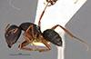 http://mczbase.mcz.harvard.edu/specimen_images/entomology/large/MCZ-ENT00021576_Camponotus_capperi_corticalis_var_subdepilis_halb.jpg