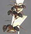 http://mczbase.mcz.harvard.edu/specimen_images/entomology/large/MCZ-ENT00021576_Camponotus_capperi_corticalis_var_subdepilis_halc.jpg
