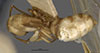 http://mczbase.mcz.harvard.edu/specimen_images/entomology/large/MCZ-ENT00021578_Camponotus_macilentus_var_barringtonensis_had.jpg
