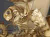 http://mczbase.mcz.harvard.edu/specimen_images/entomology/large/MCZ-ENT00021578_Camponotus_macilentus_var_barringtonensis_hal.jpg