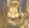 http://mczbase.mcz.harvard.edu/specimen_images/entomology/large/MCZ-ENT00021578_Camponotus_macilentus_var_barringtonensis_hef.jpg