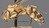http://mczbase.mcz.harvard.edu/specimen_images/entomology/large/MCZ-ENT00021579_Camponotus_macilentus_var_castellanus_hal.jpg